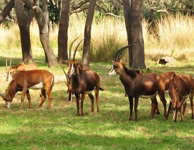 Antelope at Disney's Wild Africa Trek