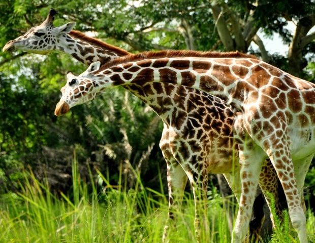 Giraffes at Disney's Wild Africa Trek