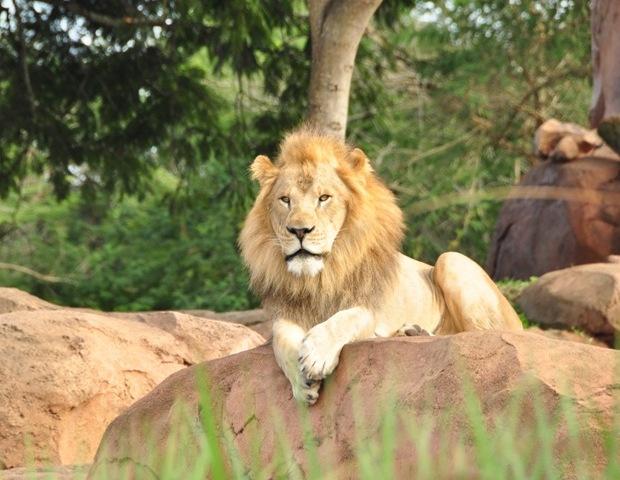 A lion at Disney's Wild Africa Trek
