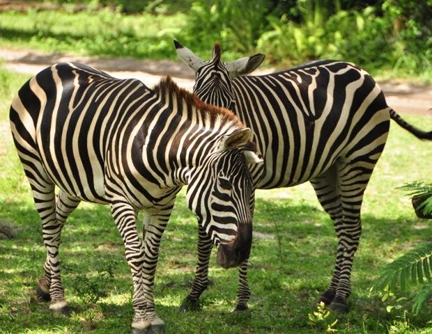Zebras at Disney's Wild Africa Trek