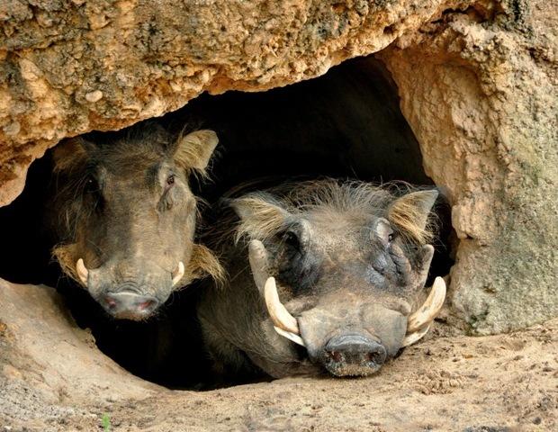 Warthogs at Disney's Wild Africa Trek
