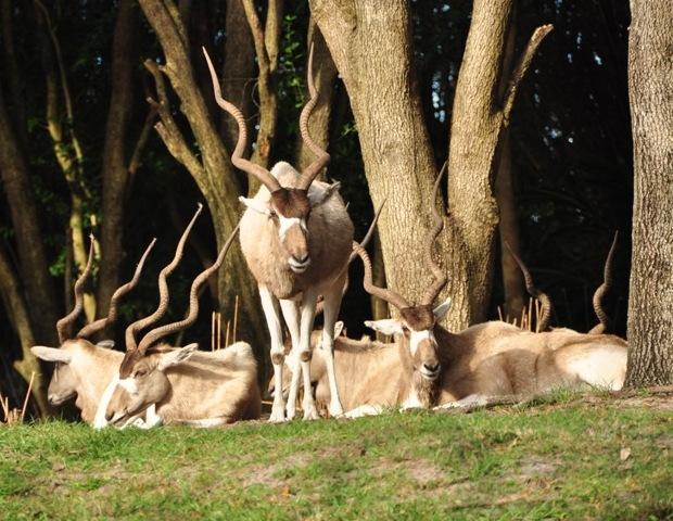 Addax antelope at Disney's Wild Africa Trek